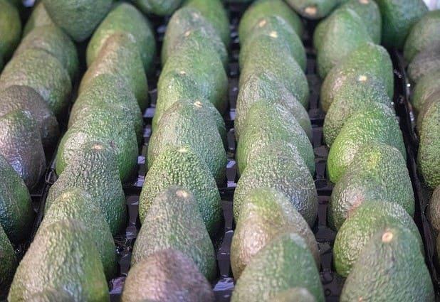 Cultivo del Aguacate Colombia