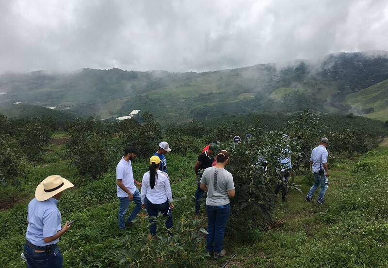Manejo Nutricional en cultivo de Aguacate Colombia